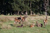 Red Deer during Rut