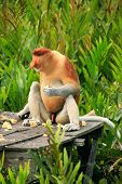 Proboscis Monkey Sitting On A Feeding Platform, Borneo, Malaysia