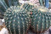 Ferocactus Histrix In A Botanical Garden