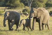 African Elephant Females And Baby (loxodonta Africana) Walking And Eating South Africa