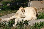 foto of lioness  - Sleepy lioness sunbathing in its zoo space - JPG
