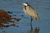 Black-headed heron (Ardea melanocephala) standing in shallow water, Kenya