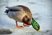 Mallard Duck On The Ice