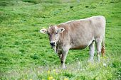 milck cow with grazing on Switzerland Alpine mountains green grass pasture over blue sky