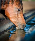 picture of bay horse  - Horse drinks a water - JPG