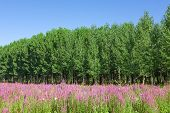 Field Of Wild Flowers With A Forest - Poplar Trees In The Background