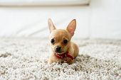 stock photo of chihuahua  - Cute chihuahua dog playing on living room - JPG