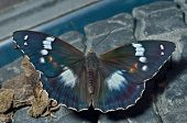 Butterfly (apatura Schrencki)