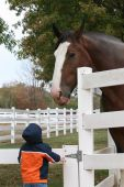 stock photo of clydesdale  - Clydesdale horse towering over a little boy - JPG