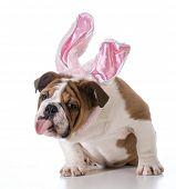 english bulldog wearing bunny ears