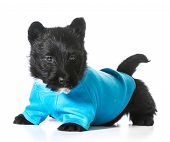 Scottish terrier puppy wearing blue coat isolated on white background