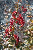Barberry In Autumn