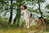 foto of snipe  - Irish red and white setter near to trophies horizontal outdoors - JPG