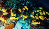 Beautiful marine life, abstract natural background, many little yellow fishes around coral garden, b