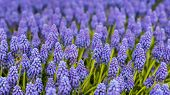 Purple And Blue Flowering Grape Hyacinths