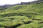 stock photo of cameron highland  - Tea plantation on the in Cameron Highlands Malaysia - JPG