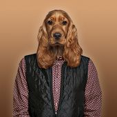 English Cocker spaniel wearing a shirt and jacket, colored background