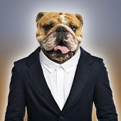 English bulldog wearing a suit, colored background