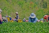 Tea Garden In Northern Thailand
