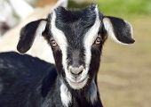 picture of baby goat  - Funny Baby Goat portrait at farm in spring - JPG