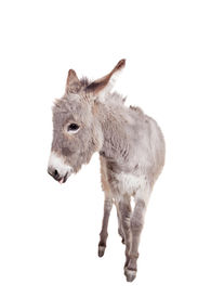 picture of headstrong  - Pretty Donkey isolated on the white background
