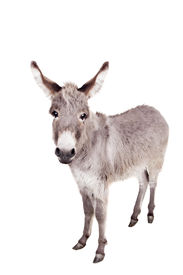 foto of headstrong  - Pretty Donkey isolated on the white background