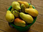 bucket full of fresh harvested pears