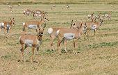 picture of alfalfa  - Herd of North American Pronghorn  - JPG