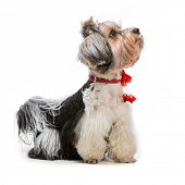 Young lovely male of the Yorkshire Terrier isolated on white background