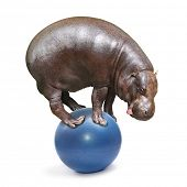 African Hippo balancing on a blue ball.