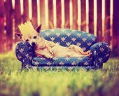 a cute chihuahua laying on a couch with a crown on toned with a retro vintage instagram filter