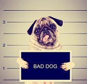 a dog in front of a convict poster getting a mug shot taken toned with a retro vintage instagram filter effect