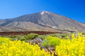 Teide volcano peak with yellow flowers in the foreground, Tenerife island, Spain.