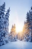 Winter in the woods. New Year`s landscape. Fresh snow on the trees. The effect of color tinting