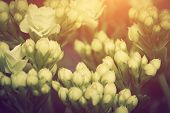 Close-up of young fresh flowers growing on a spring morning meadow, sun shining through buds. Vintage retro style.