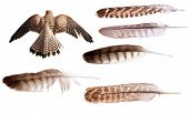 picture of falcons  - flying brown falcon and feathers set isolated on white background - JPG