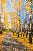 Pathway in autumnal yellow forest