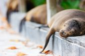 Sea lions sleeping along a pedestrian walkway