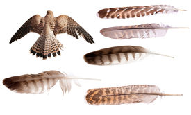 stock photo of falcons  - flying brown falcon and feathers set isolated on white background - JPG