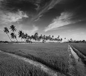 Rural Indian scene - rice paddy field and palms. Tamil Nadu, India. Black and white version
