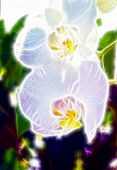 A Pair Of Beautiful Orchid Blossoms With A Daylight Shining Through
