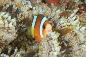 Clownfish In Host Anemone