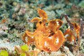 Rhinopias Eschmeyeri.  Han's Reef - Gili Air