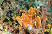 Paddle Flap Scorpionfish