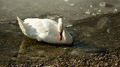 White swan on frozen lake searching food