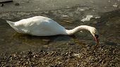 White swan on frozen lake drinking water II.