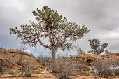 pine tree with magpie nest  on sandstone cliff, Lory State Park near Fort Collins, Colorado, winter scenery