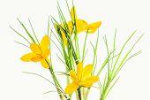 Yellow Spring Crocuses Backlit, Close Up