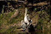 grey heron, Ardea cinerea, at Kruger national park, South Africa