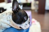 Adorable French bulldog lying on knees